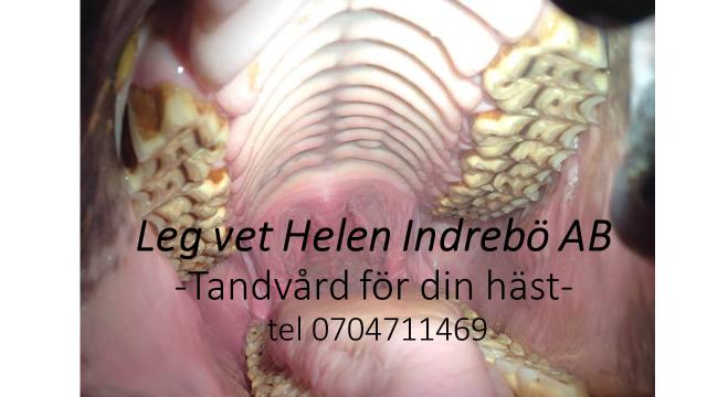 Veterinär Helen Indrebö